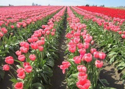 05 Kenya floriculture
