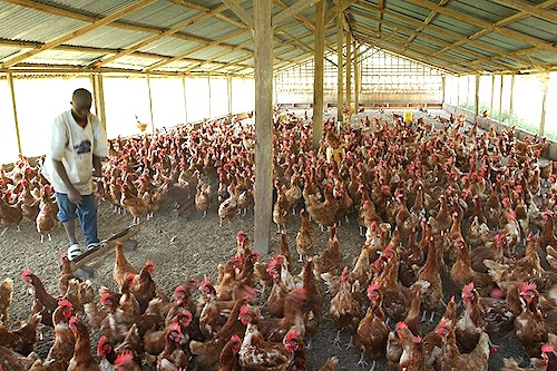 2Poultry industry in Africa