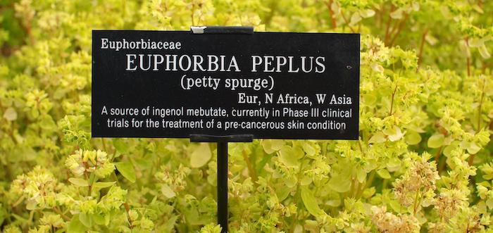 2Euphorbia Peplus