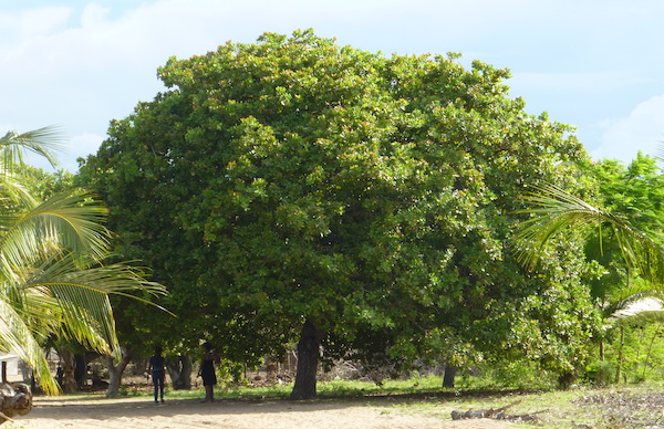 4 Cashew Nut Tree