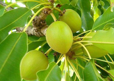 6karité fruits